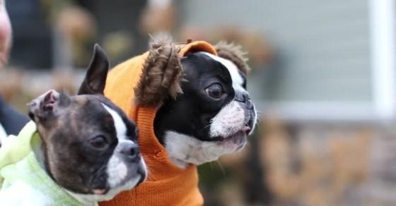 Boston Terrier Screeches at Passing Cat