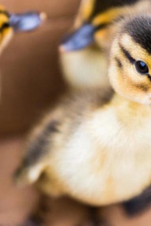 A Boston duckling rescue, in 11 photos