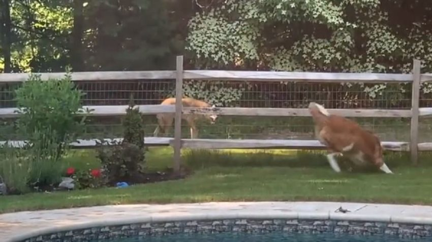 Watch this St. Bernard come face-to-face with a coyote in Milton